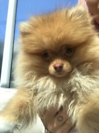 Gorgeous green eyed Teddy Bear Pomeranian puppy