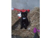 Black kittens, 10wks, one male one female, white chest and tail tip. Very cute.