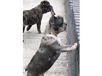 French bulldog merle girl