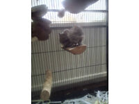 Degus and large cage for sale, bargain price