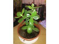 "Jade ""lucky money"" plant in pot Crassula Ovata ""friendship tree"" houseplant"