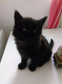 I black kitten for sale, litter trained and eating solids looking for loving home