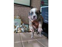 Staffy X American bulldog