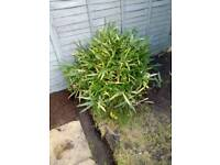 Large healthy bamboo