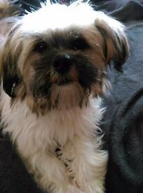 7 month old gold and white parti coloured very very loving faithful female lhasa apso lap puppy
