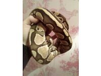 Lesser ball python and setup for sale snake is eating shedding and pooing as she should