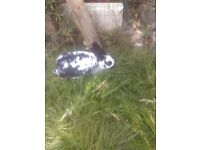 Male black and white rabbit