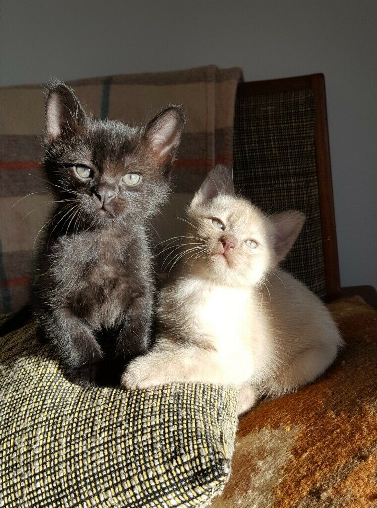 Beautiful Burmese Kittens In Eastbourne East Sussex Gumtree