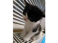 Urgently Selling English breed kittens.