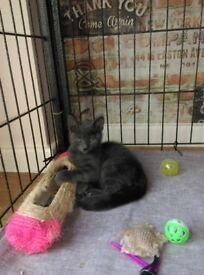 Last female Russian blue kitten