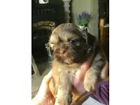 KC REGISTERED IMPERIAL SHIH TZU PUPPIES FOR SALE