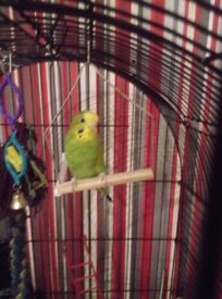 BUDGIE AND LARGE CAGE £50