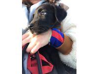 Labrador x Border Collie puppy