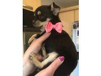 Chihuahua girl pup