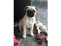 Pug puppy girl