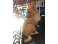 Tan Pomchi Male 6Months Old