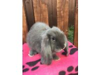 French Lop Doe- Blue Self-last of the litter