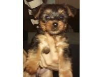 6wk old tea cup yorkie for sale £400 not negotiable.No time wasters please.Must go to good home!