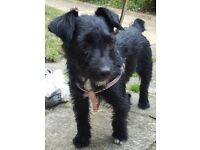 FOUND Black patterdale Female