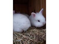 mini lionhead x rabbits for sale