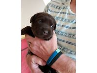 chunky pedigree labrador puppies for sale