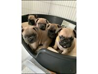 FRENCH BULLDOGS KC REGISTERED