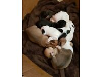 English Bulldog x Staffy £700,