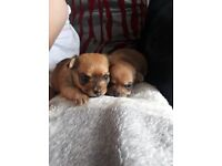 I have 1 male and 1 female Yorkshire terrier cross Chihuahua for sale