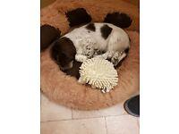 4 Month Old Sprocker Puppy
