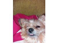 Yorkie cross dog