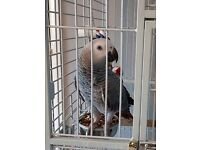 Beautiful Tame 12 month old African Grey