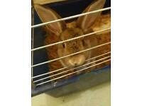 1x buck rabbits