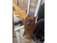 PURE POMERANIAN BOY PUPPY DOG 6 MONTHS OLD
