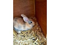 Rabbit with hutch and cover for sale