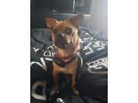 Jug | Dogs & Puppies for Sale - Gumtree