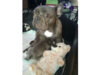Male Blue French Bull Dogs for Sale,KC Reg.