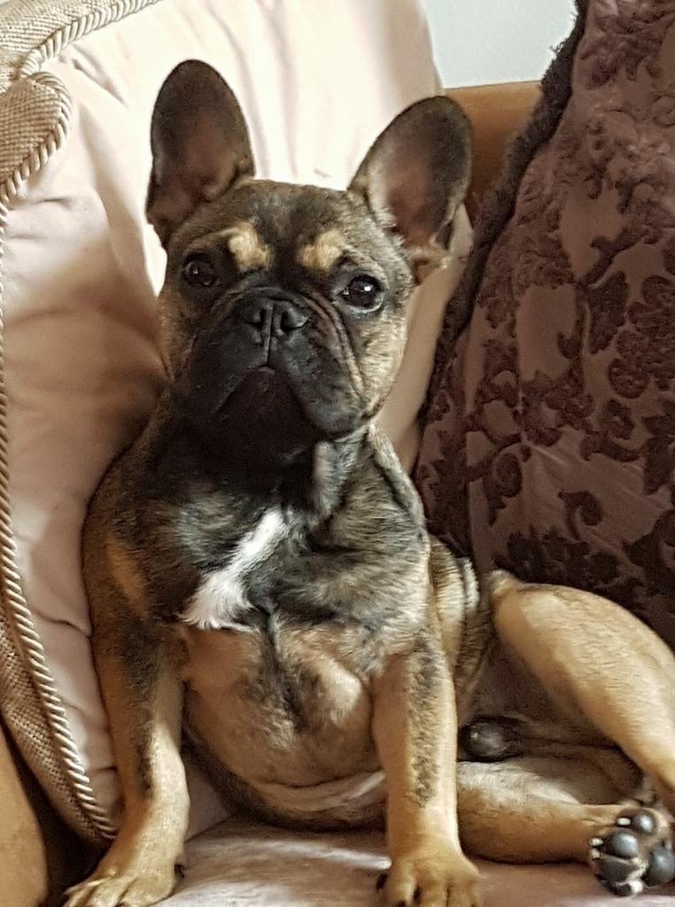 French bulldog,£650