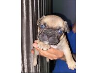 3 gorgeous french bulldog puppies for sale