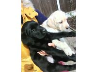 3 female Labrador pups available