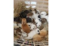 Rabbits for sale 07828457319 English mix breed satin