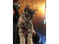 Beautiful Tabby Girl Kitten