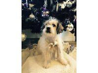 Cute Cavapoo Puppies Cavalier King Charles Spaniel X Poodle