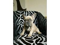 **Kc French Bulldogs** New Price Only 2 Left