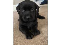 Stunning black Labrador Pups