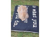 Lop ear Lionhead cross rabbits for sale