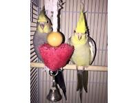 Two male cockatiels with cage