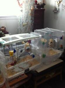 Zebra Finches and Cages for sale