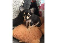 Chihuahua for sale, Black and Tan £500 ono