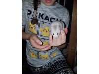 Baby hamster for free to good home