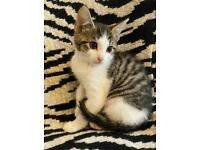 3 beautiful white and tabby kittens for sale